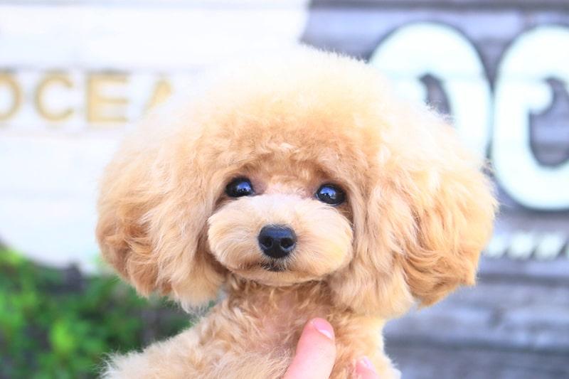 ティーカッププードルの成犬