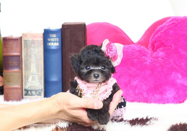 トイプードルのシルバーの子犬